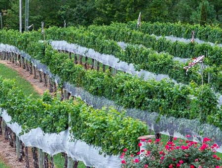 Overmountain Vineyards grape vines